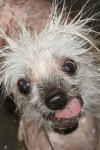 фото Rascal The World's Ugliest Dog