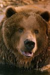 фото медведь Барт