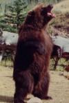 фото медведь Броди